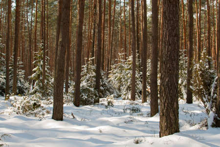 Winter pine forest Stock Photo - 18646922