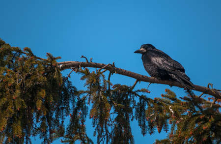 Rook Stock Photo - 18647022