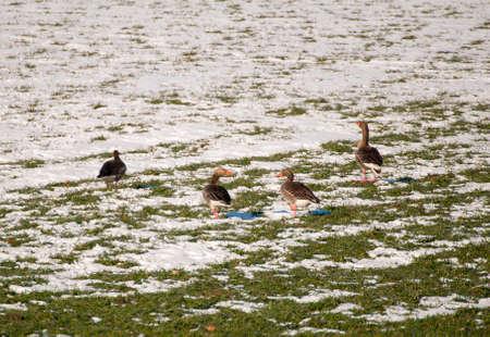 Goose Stock Photo - 18734994