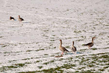 Goose Stock Photo - 18734992