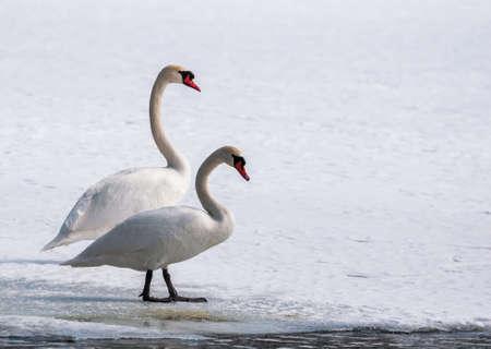 swan - cygnus olor photo