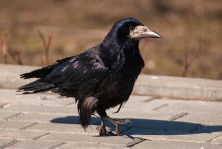 Rook Stock Photo - 18931911