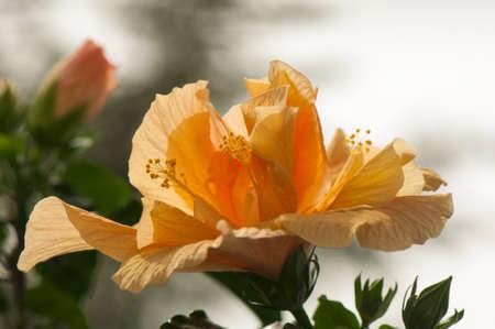 blumen: Hibiscus