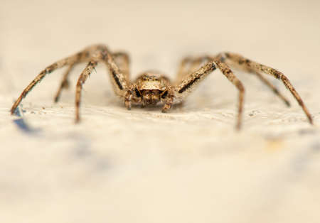 Philodromus Stock Photo - 19017288