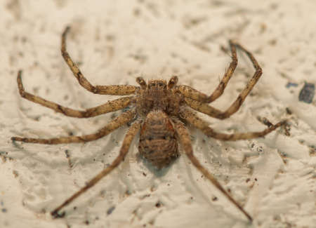 Philodromus photo