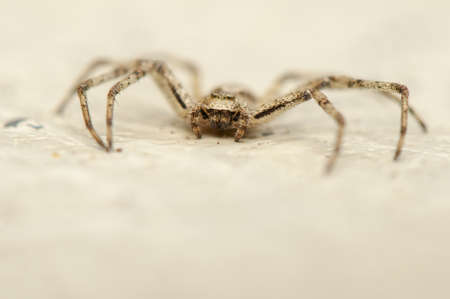 Philodromus Stock Photo - 19017276
