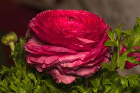 blumen: Ranunculus Stock Photo