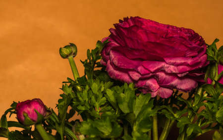 blumen: Ranunculus Stock Photo