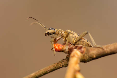Rhagium modrax photo