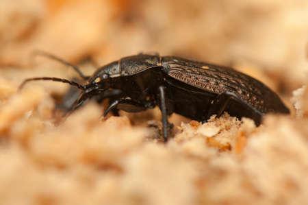 arvensis: Carabus arvensis