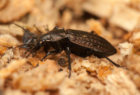 Carabus arvensis Stock Photo - 19185224