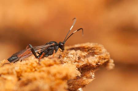 ichneumonidae: Ichneumonidae Stock Photo