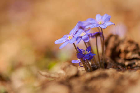 Hepatica Stock Photo - 19185225