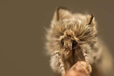 Achlya flavicornis Stock Photo - 19185880