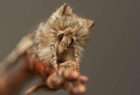 Achlya flavicornis Stock Photo - 19185878