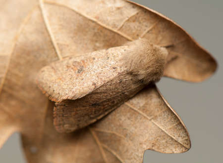 Orthosia cruda photo