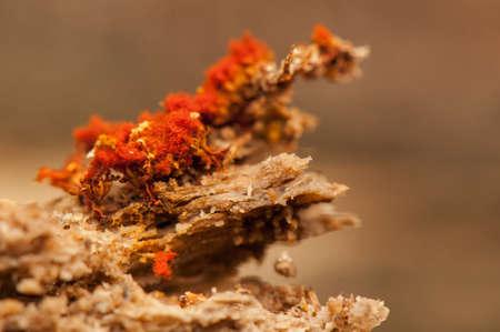protista: Metatrichia vesparium Stock Photo