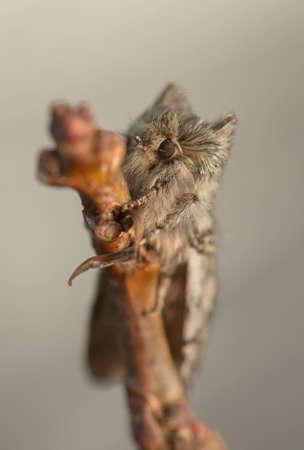 Achlya flavicornis Stock Photo - 19186332