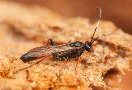 ichneumonidae: Ichneumonidae Stock Photo