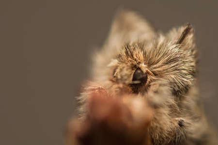 achlya: Achlya flavicornis
