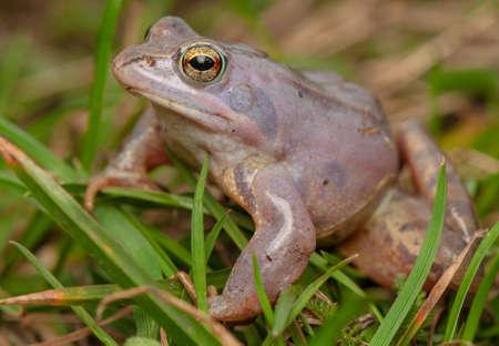 Moor frog Stock Photo - 19186107