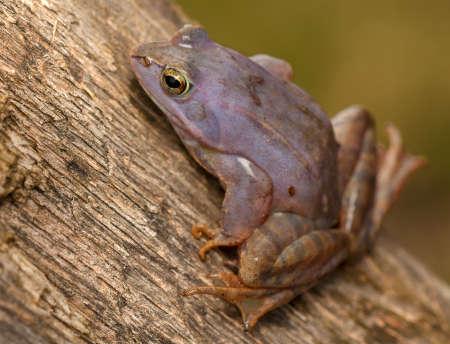 Moor frog Stock Photo - 19186199