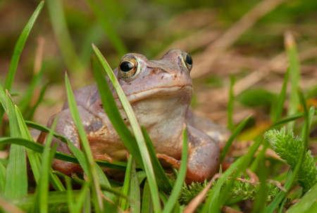Moor frog Stock Photo - 19186899