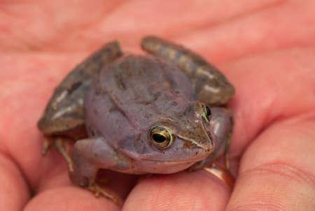 Moor frog Stock Photo - 19186653