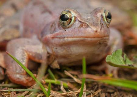 Moor frog Stock Photo - 19186977