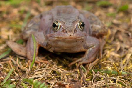 Moor frog Stock Photo - 19186200
