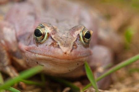 Moor frog photo