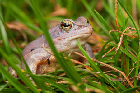 Moor frog Stock Photo - 19186191