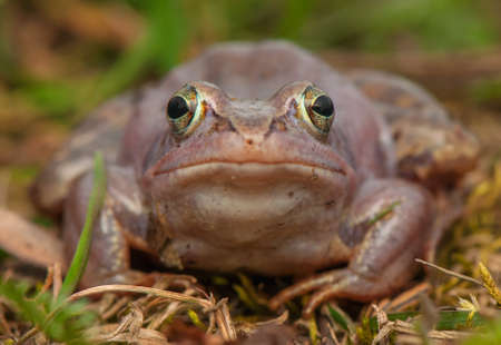 Moor frog Stock Photo - 19186243