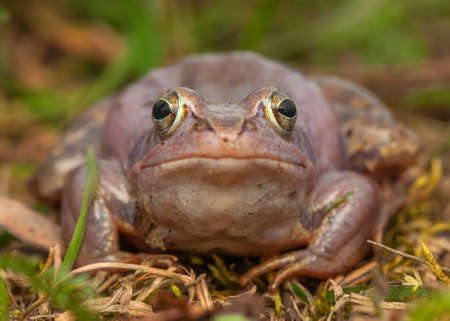 Moor frog Stock Photo - 19186307