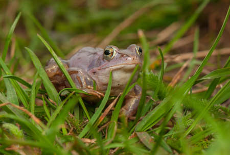 Moor frog Stock Photo - 19186104