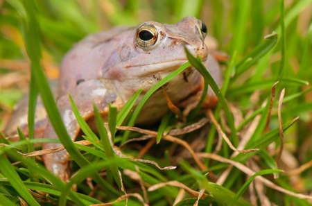 Moor frog Stock Photo - 19186120