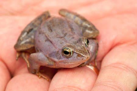 Moor frog Stock Photo - 19186294