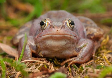 Moor frog Stock Photo - 19186928