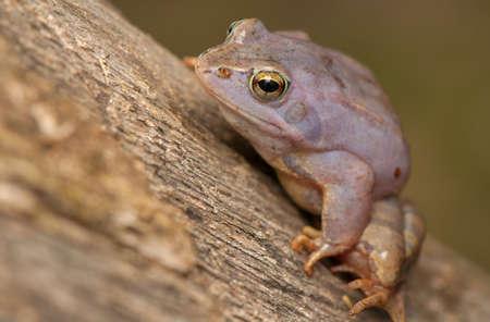 Moor frog Stock Photo - 19283691
