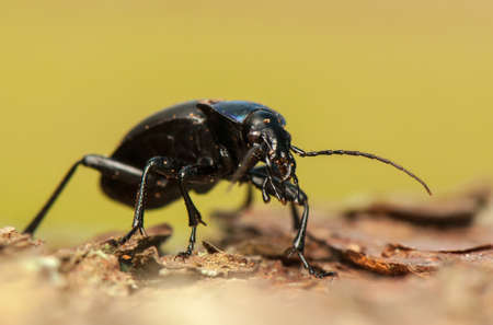Carabus glabratus Stock Photo - 19312487