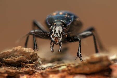 carabidae: Carabus glabratus Stock Photo