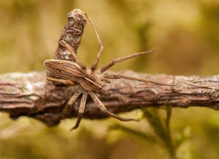 pisaura mirabillis: Pisaura mirabilis