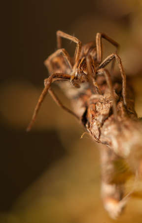 pisauridae: Pisaura mirabilis