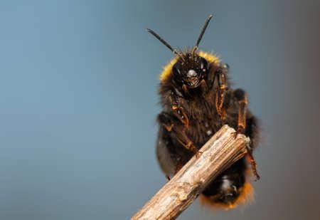 Bumblebee Stock Photo - 19283370