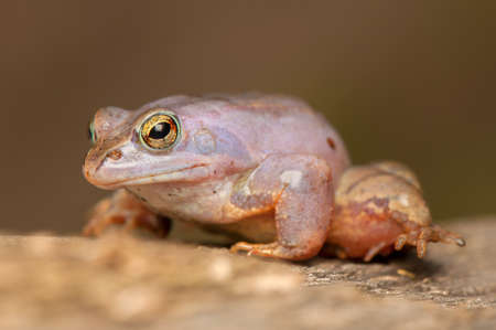 Moor frog Stock Photo - 19283603