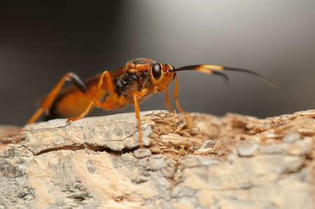 ichneumonidae: Callajoppa exaltatoria