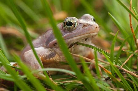 rana arvalis: Moor frog