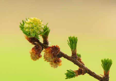 Larch flower photo