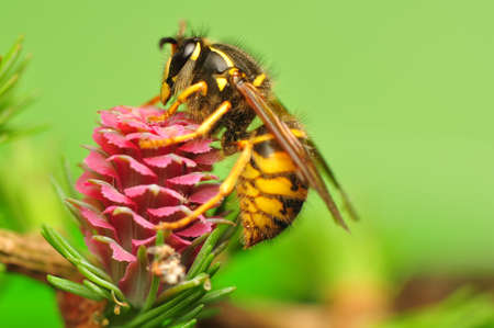 Larch flower and wasp