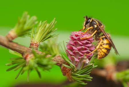 Lärche Blume und Wespe